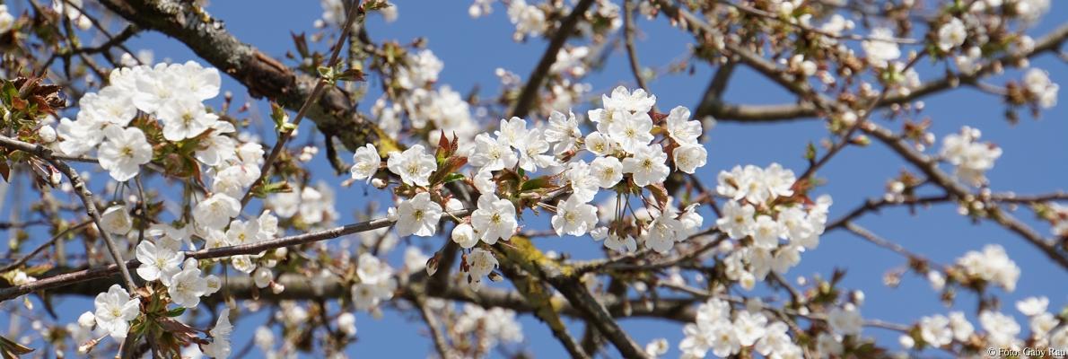 Slider Kirschblüte