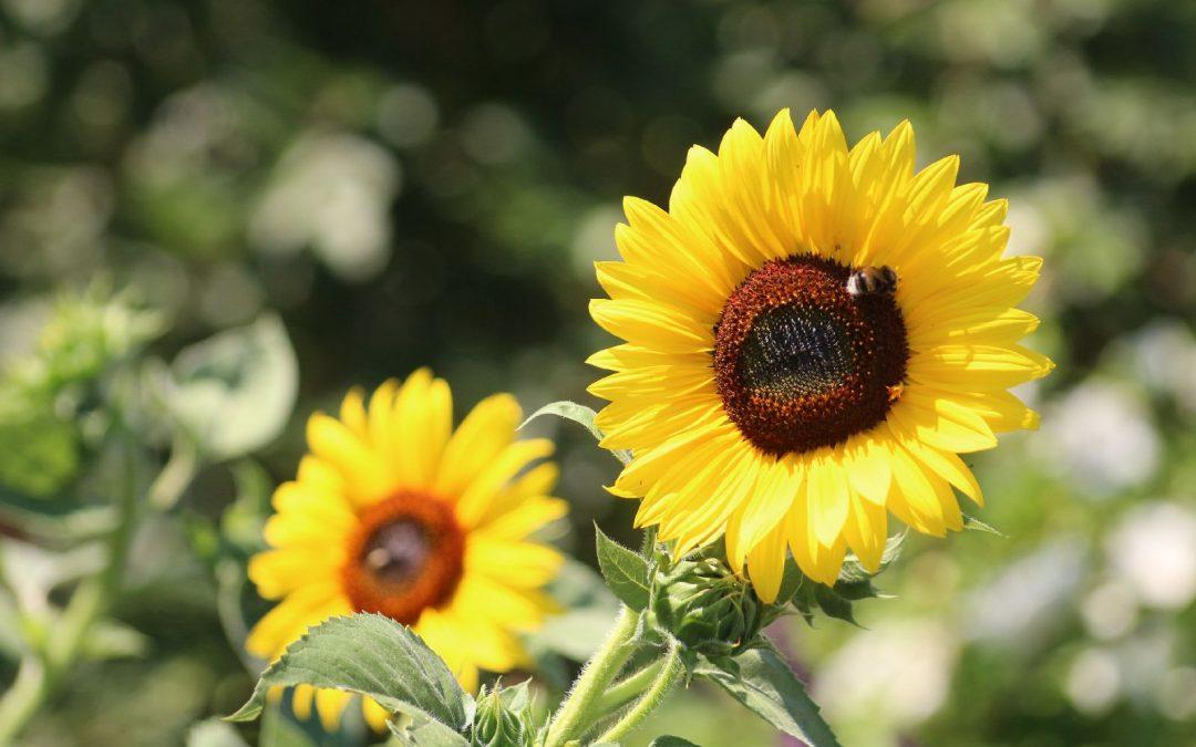Sonnenblumen - Bluehstreifen